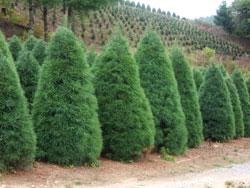 longs tree farm offers ball and burlap nursery stock with canadian hemlock sheared white pine norway spruce and colorado blue spruce - Christmas Tree Nursery