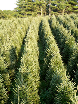 "9cba9f28ffd Long s Tree Farm has excellent quality Fraser Fir trees with sizes ranging  from 5 ft. to 20 ft tall. Fraser Fir is the ""Cadillac of Christmas trees""."